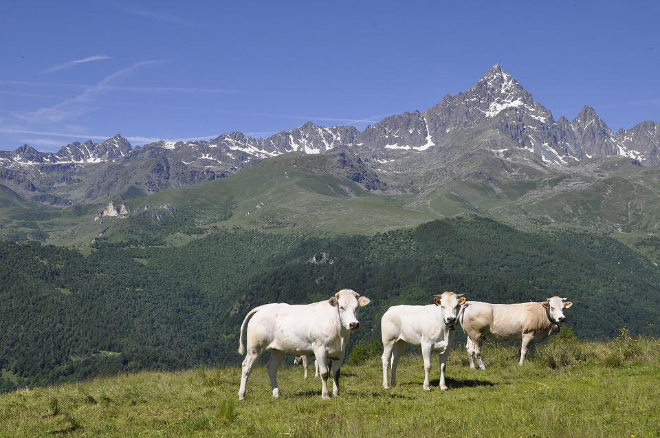 Alps, Mountain, Monviso, Cows, Mountains, Nature