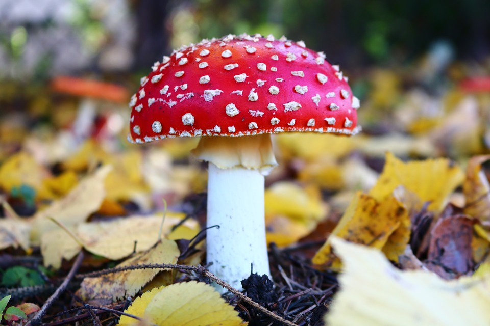 Amanita, Mushroom, Forest, Poisonous Mushrooms