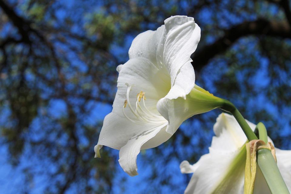 Free photo amaryllis belladonna white amaryllis flowering for Bulbes amaryllis belladonna