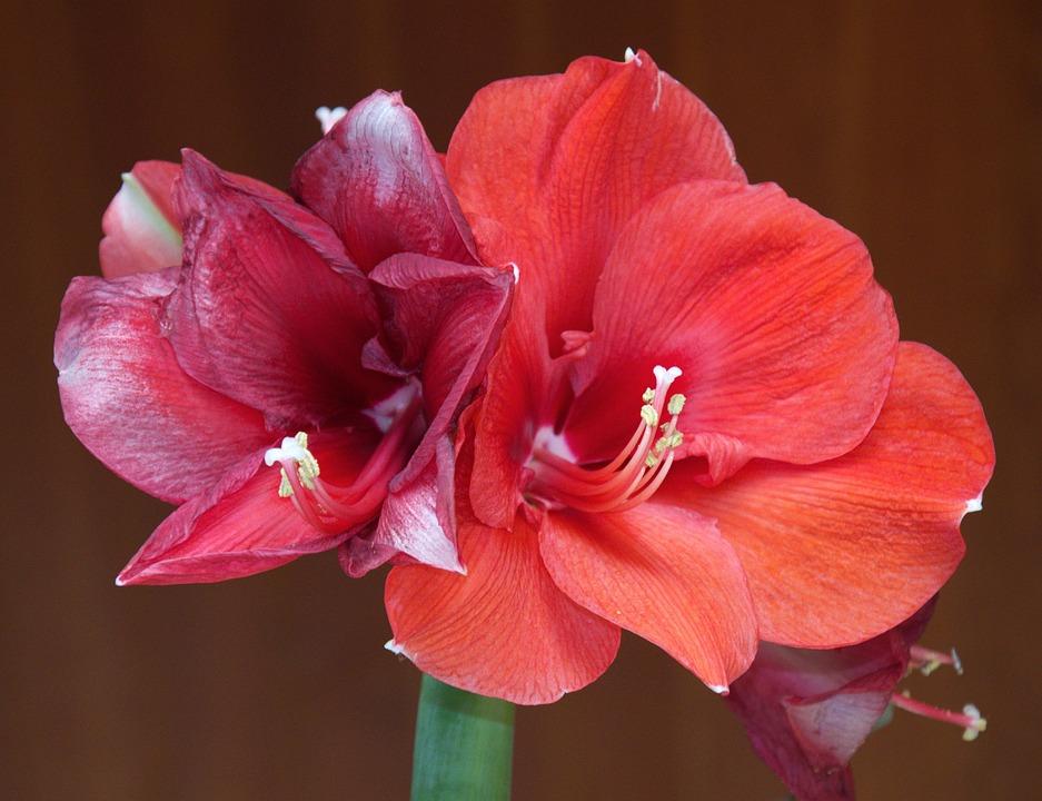 Amaryllis, Blossom, Bloom, Flower, Incomplete, Nature