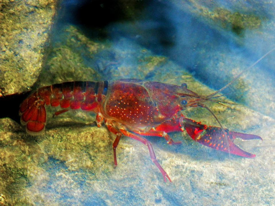Crayfish, American Crab, River, Crustacean, Fish, Sea