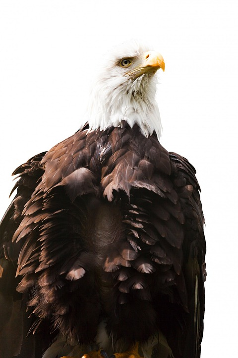 Eagle, American, Bird, White, America, Endangered