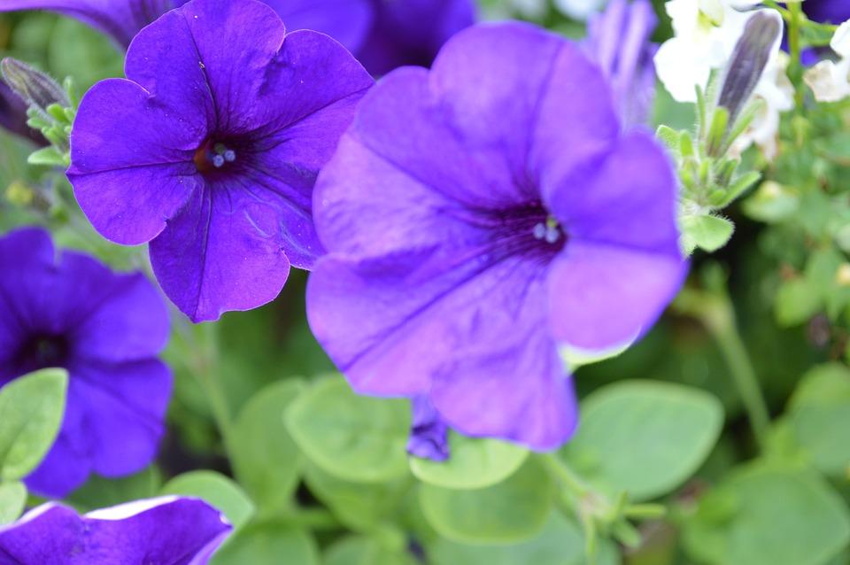 Violet, Purple, Amethyst, Sleep, Flowers, Lavender