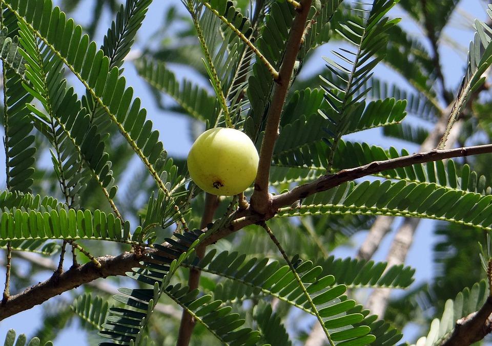 Indian Gooseberry, Amla, Phyllanthus Emblica
