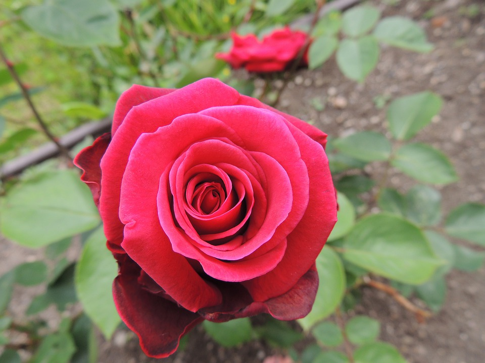 Rose, Red, Romance, Couple, Amorousness