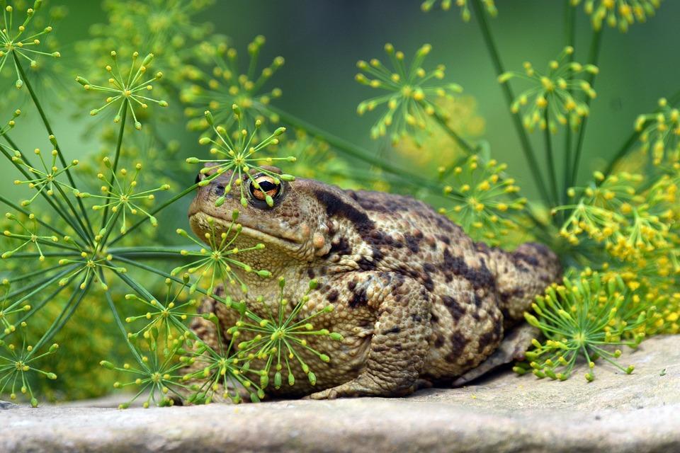 Frog, Amphibian, Toad, Animal, Species