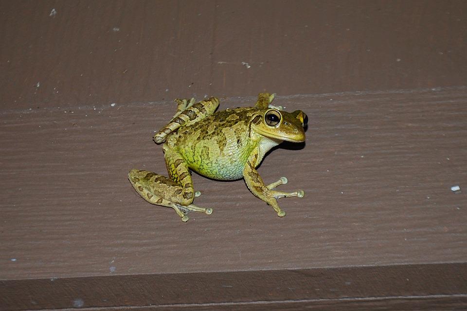 Frog, Green, Amphibian, Outdoor, Nature
