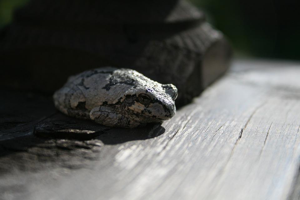 Frog, Wood, Close, Amphibian Animal, Amphibian