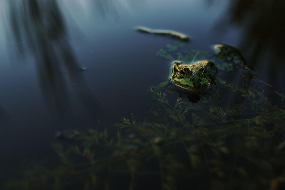 Frog, Evening, Water, Pond, Gold, Amphibian, Animals