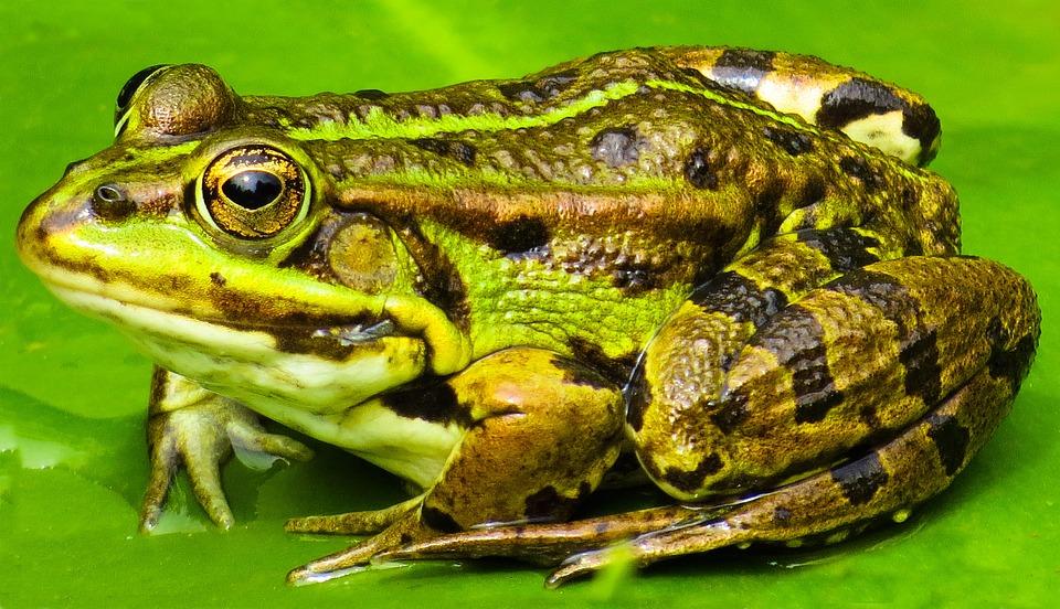 Animal, Frog, Water, Pond, Green, Amphibian, Eyes