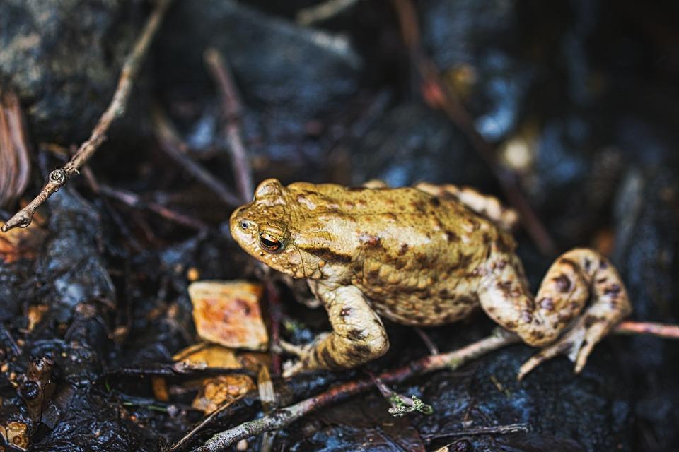 Toad, Frog, Pond, Water, Frog Pond, High, Amphibian