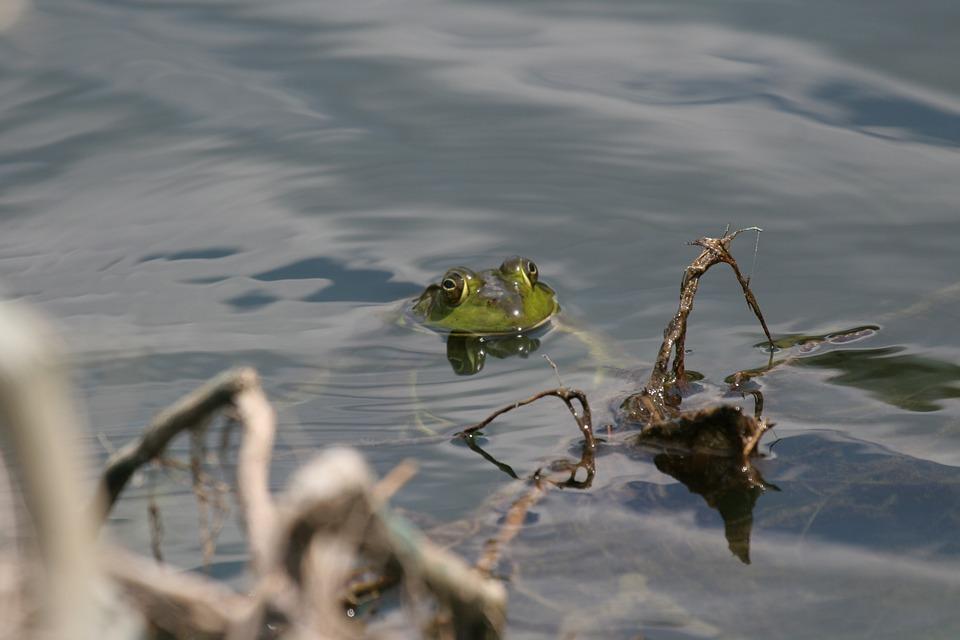 Pond Frog, Amphibian, Water