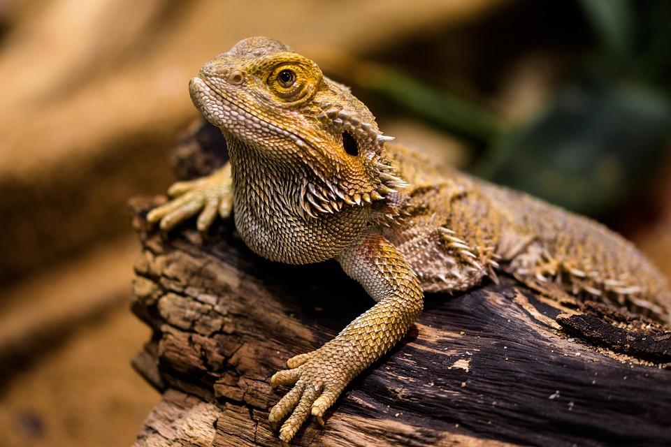 Lizard, Agame, Reptile, Amphibian, Dragon, Dry, Stone