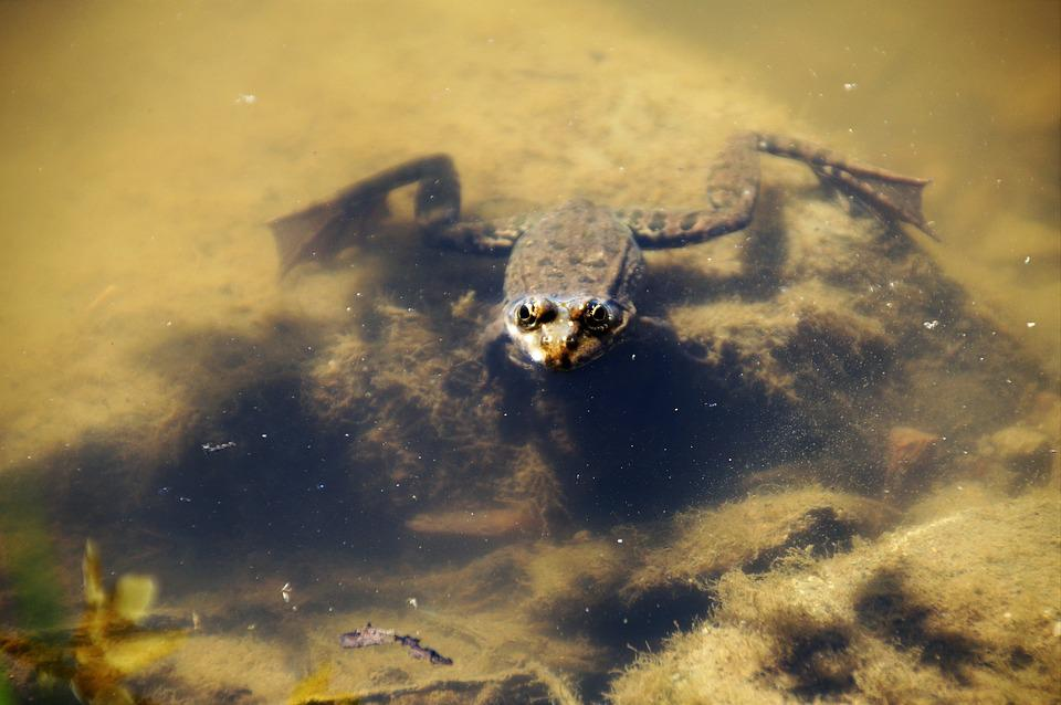 Frog, Water, Pond, Amphibian, Toad