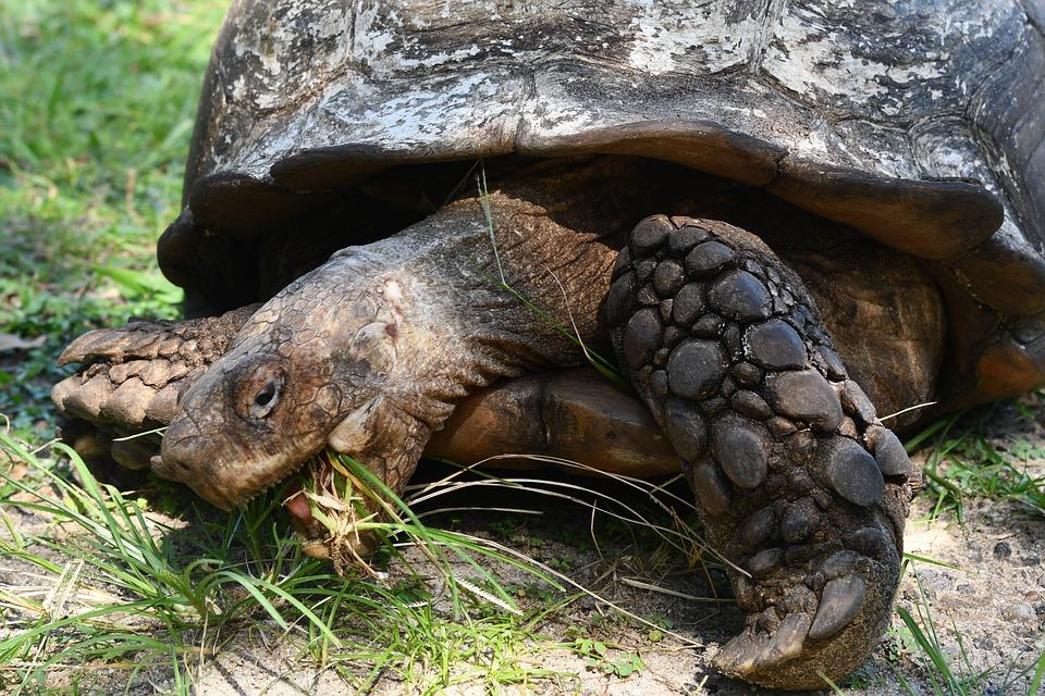 Tortoise, Old Tortoise, Reptile, Amphibian, Shell