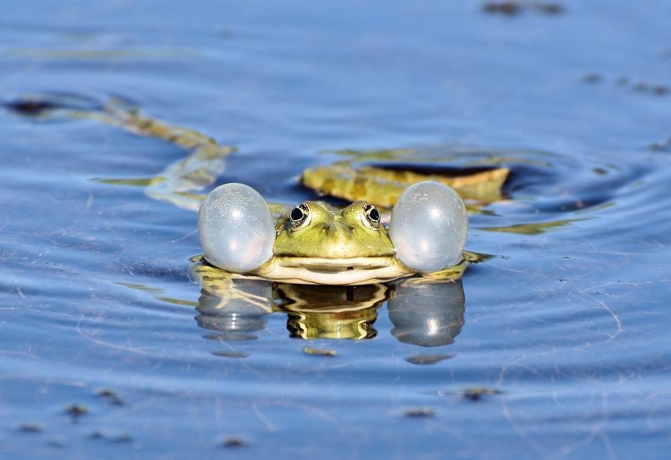Frog, Toad, Amphibians, Animal, Creature