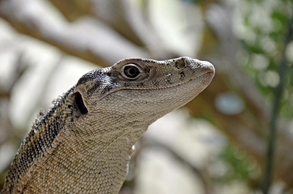 Iguana, Amphibians, Nature, Rainforest, Exotic