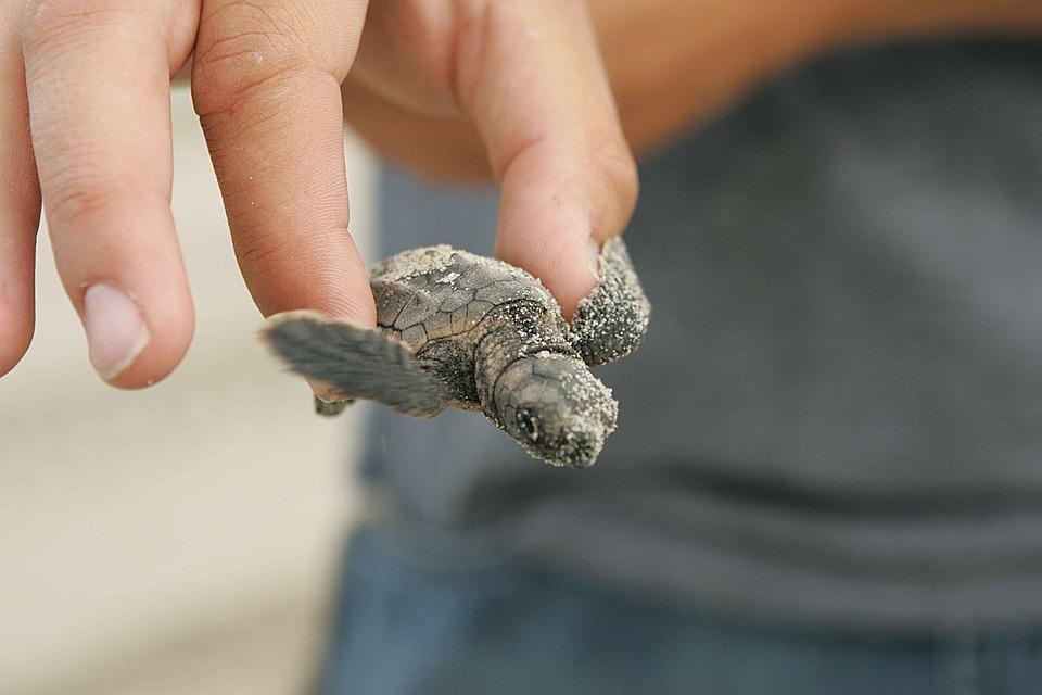 Night, Turtle, Baby, Loggerhead, Turtles, Amphibians