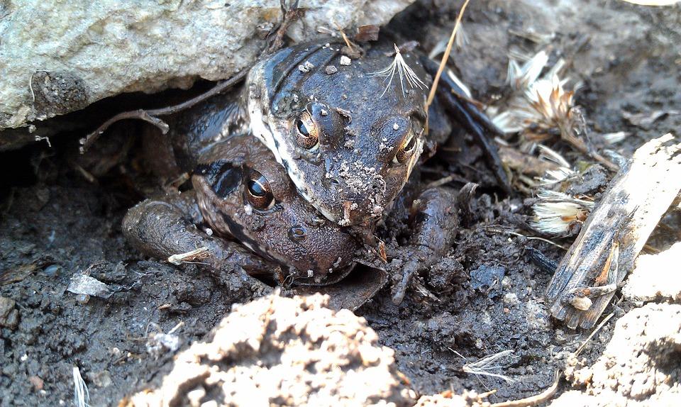 Moor Frogs, Amplexus, Frog, Amphibians, Tailless