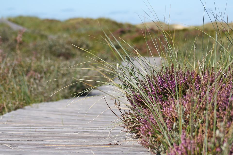 Heide, Away, Boardwalk, Amrum, Heather, Path, Dunes