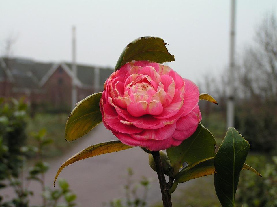 Netherlands, Amsterdam, Westerpark, Rose