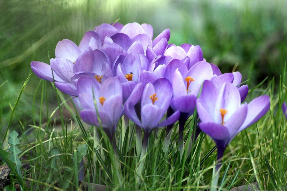 Crocus, Flowers, An Interesting Perspective, Meadow