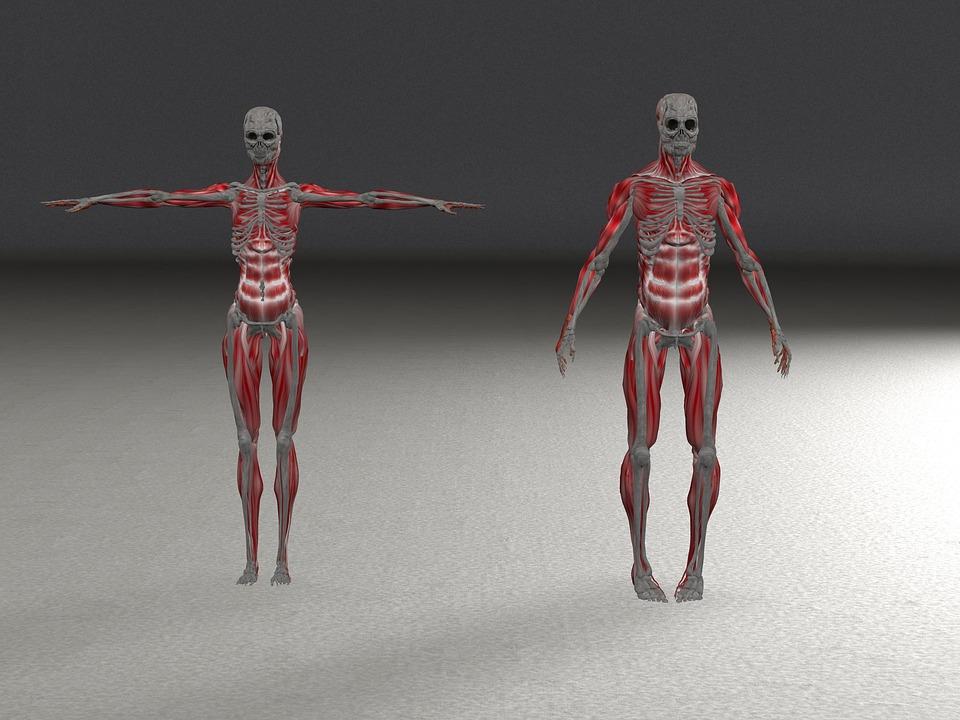 Free Photo Anatomy Woman Man Muscles Skeleton Bone Max Pixel