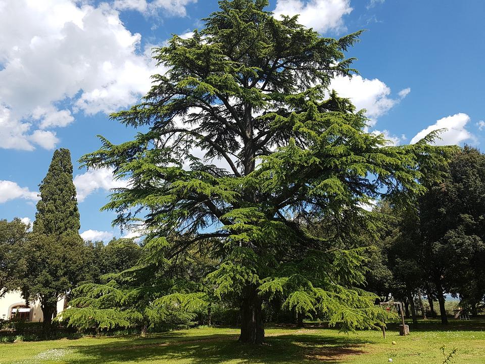 Cedar, Cedrus, Tuscany, Seed Plant, Ancient, Tree, Huge
