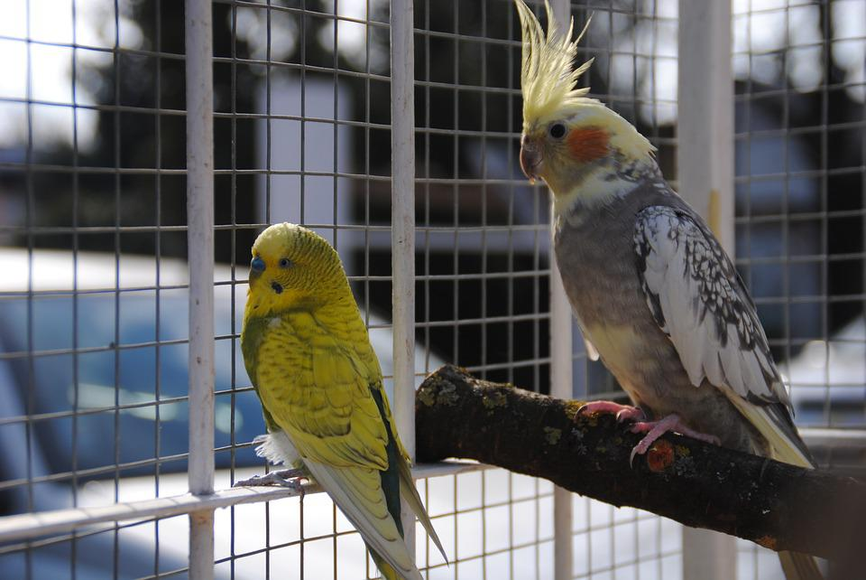 Korela, Andulka, Birds, Parrot, Summer, Heat, Bird