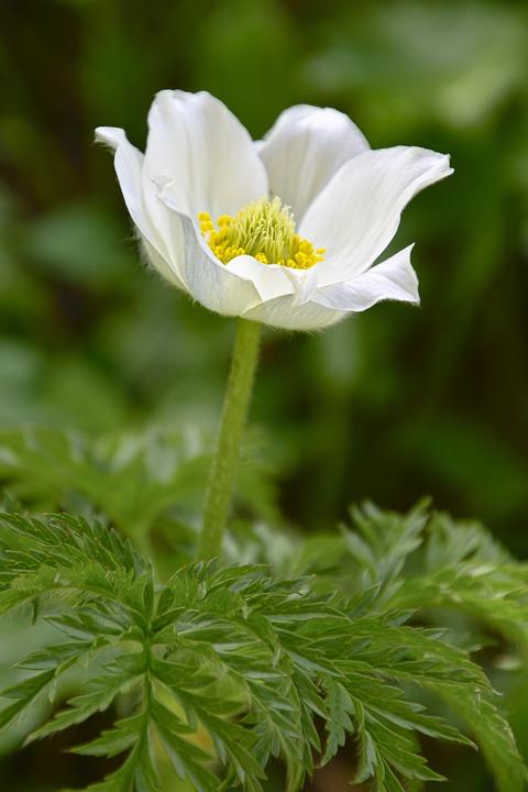 Pulsatilla Alpina, Alps-anemone, Anemone, Blossom