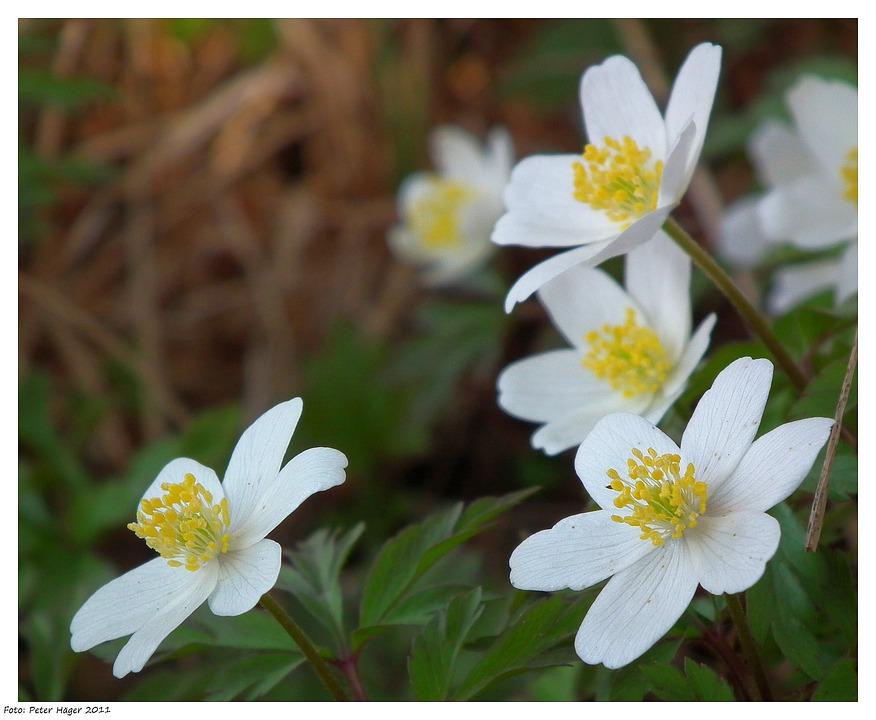 Anemone Nemorosa, Anemone, Wood Anemone, Windflower