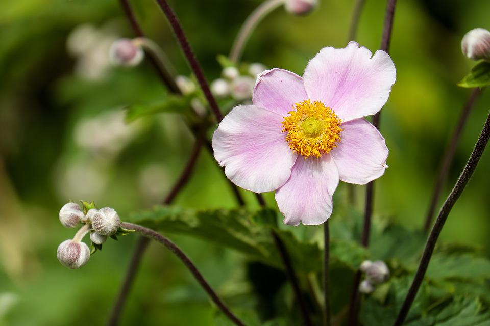 Anemone, Flower, Blossom, Bloom, Flowers, Pink, Nature