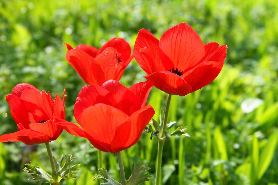 Flower, Anemone, Spring, Floral, Bloom, Garden