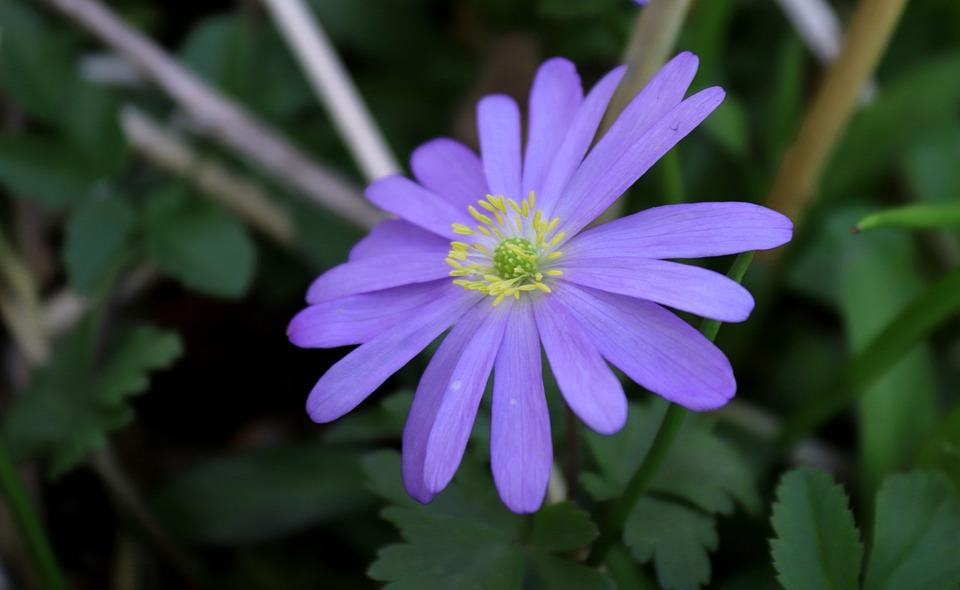 Anemone, Nature, Flower, Blossom, Bloom, Blue, Tender