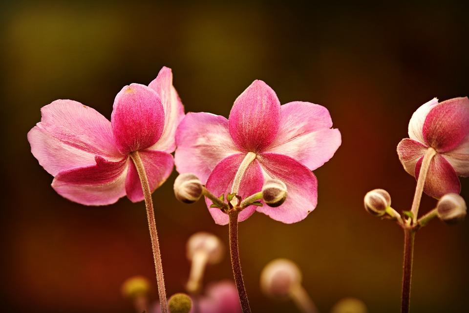 Anemone, Flower, Plant, Blossom, Garden, Pink