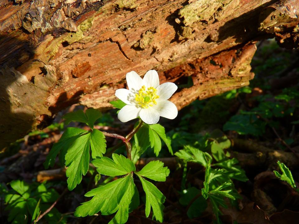 Wood Anemone, Anemone, Flower, White