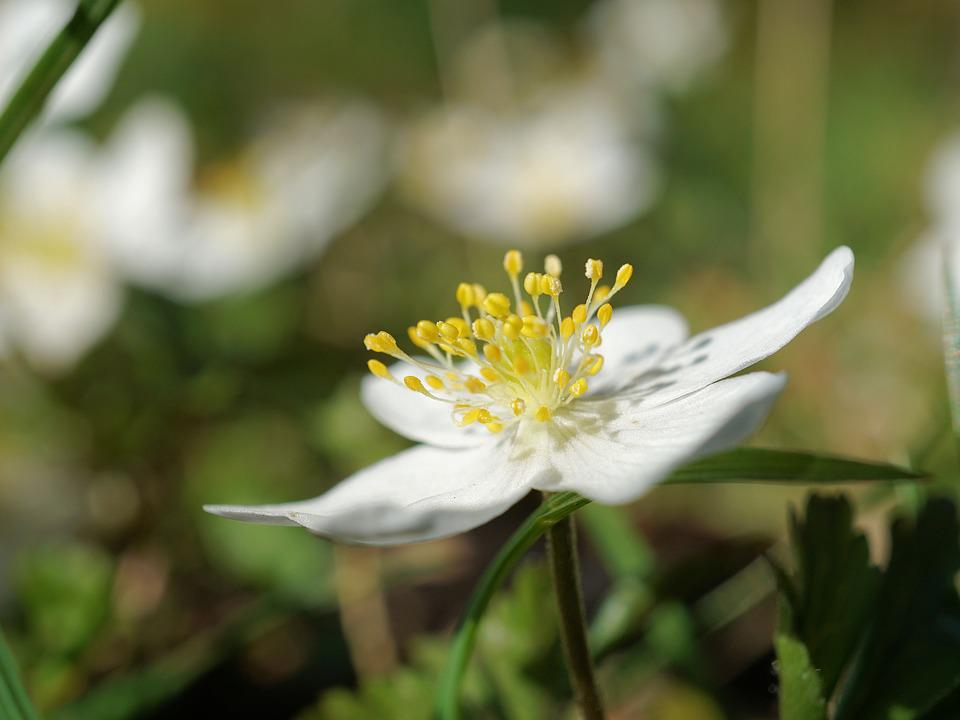 Wood Anemone, Anemone Nemorosa, Flower, Spring, Nature