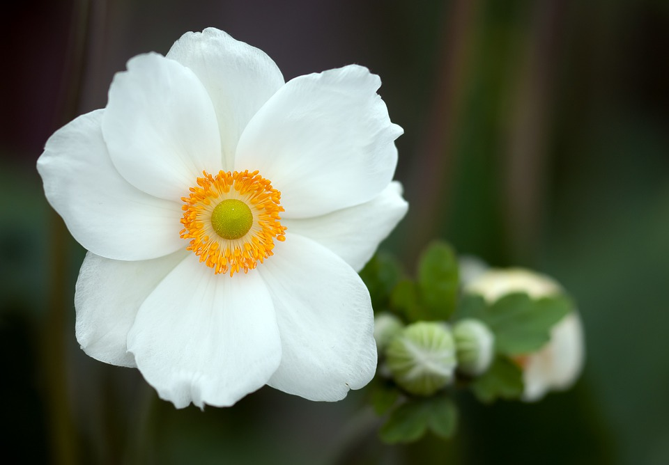 Summer Anemone, Anemone Sylvestris, Blossom, Bloom