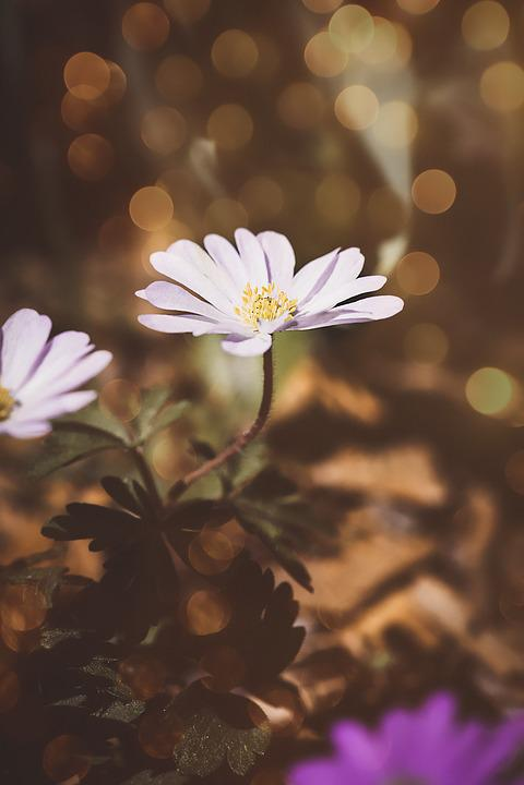 Anemone, White, White Anemone, Flower, White Flower