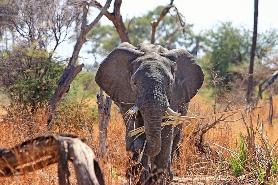 Elephant, Animal, Proboscis, Safari, Africa