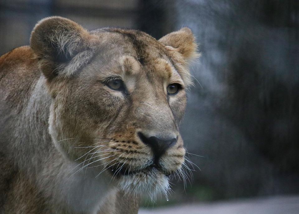 Lion, Mom, Zoo, Wild, Animal, Nature, Africa, Predator