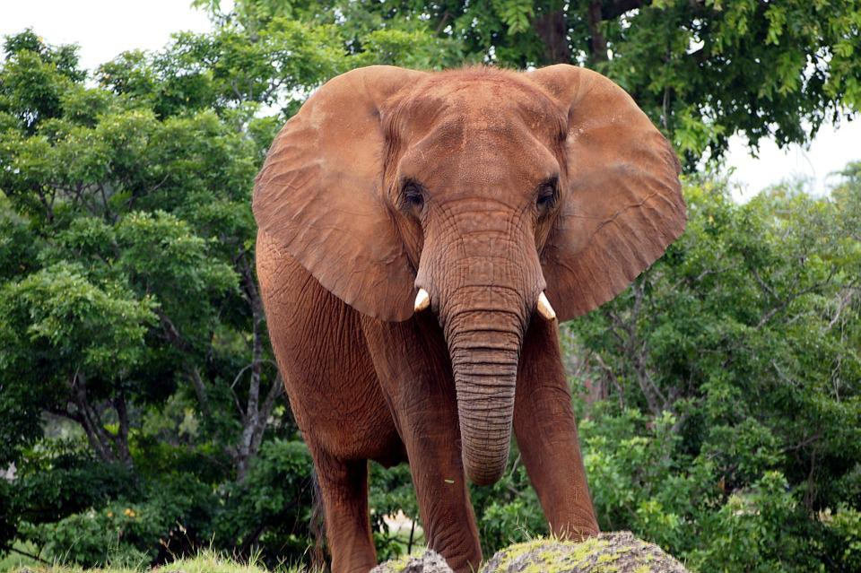 African Bush Elephant, Elephant, Animal, Pachyderm