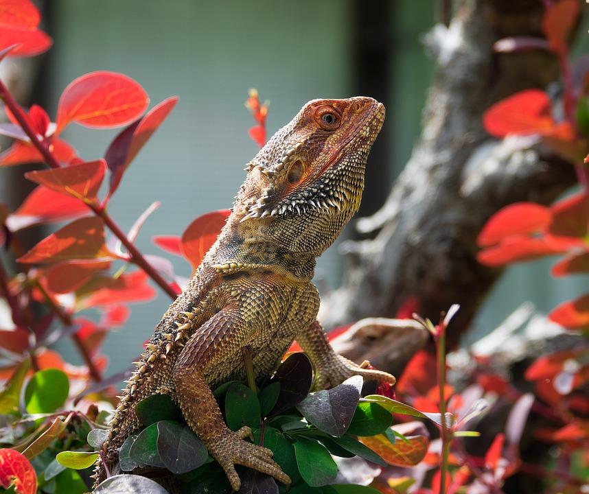 Lizard, Bearded Dragon, Reptile, Animal, Agame, Scale