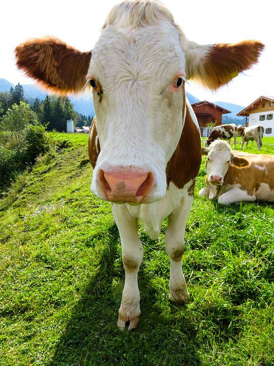 Animal, Cow, Cattle, Farm, Agriculture, Pasture, Grass