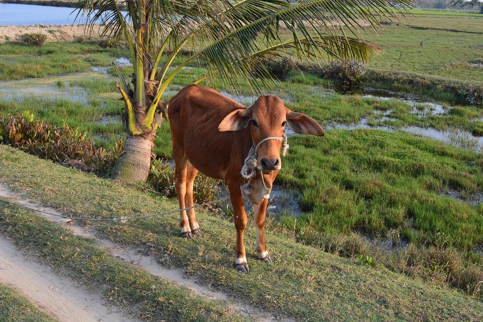 Veal, Cow, Cattle, Agriculture, Animal, Brown, Viet Nam