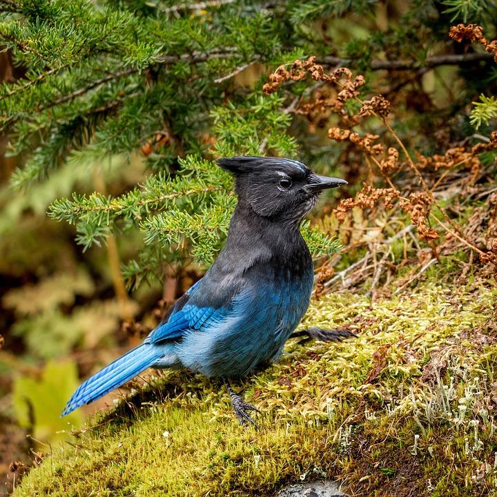 Diademhäher, Bird, Controller Jay, Animal, Animal World
