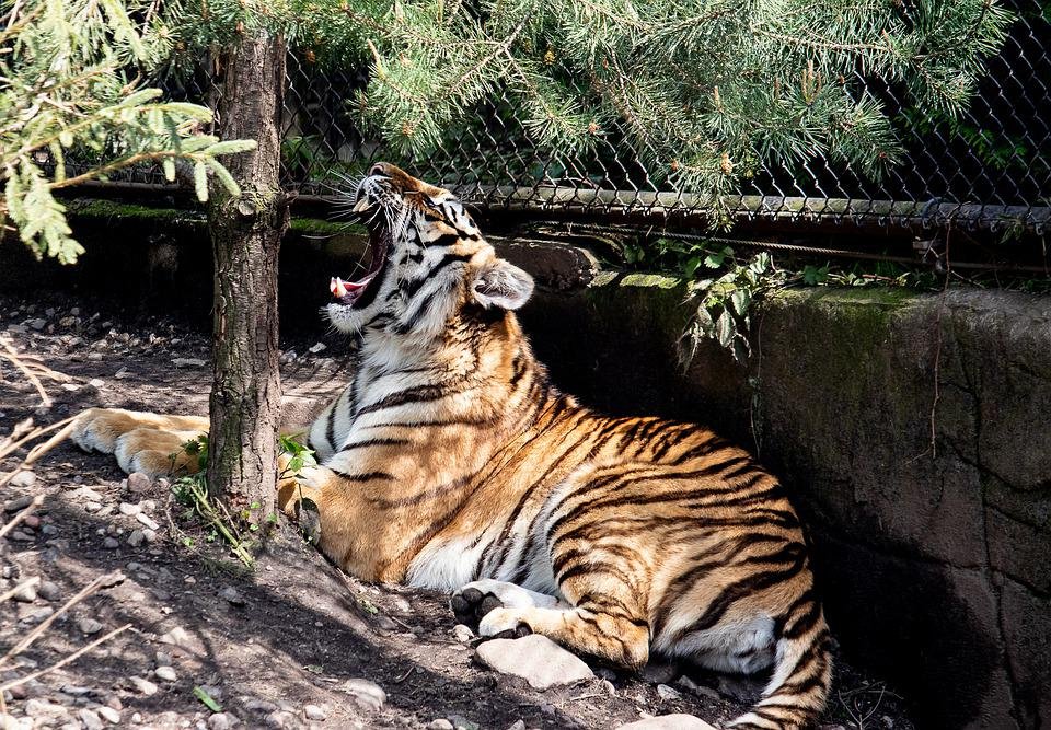 Tiger, Siberian Tiger, Mammal, Animal, Animal World