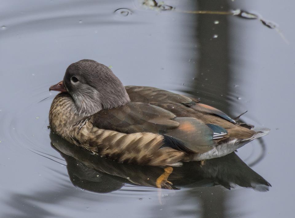 Bird, Mandarin, Duck, Animal World, Nature, Animal
