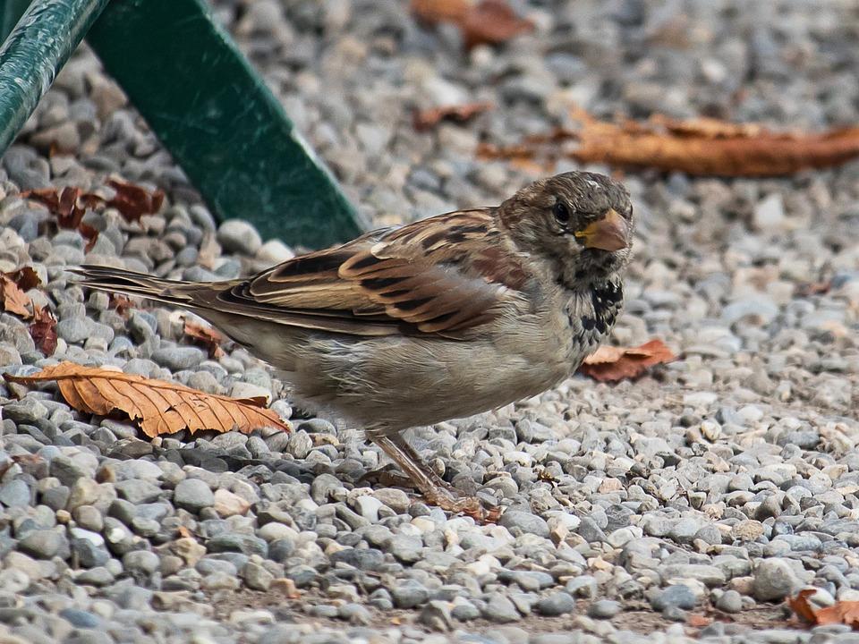 Sparrow, Sperling, Bird, Animal, Animal World, Nature