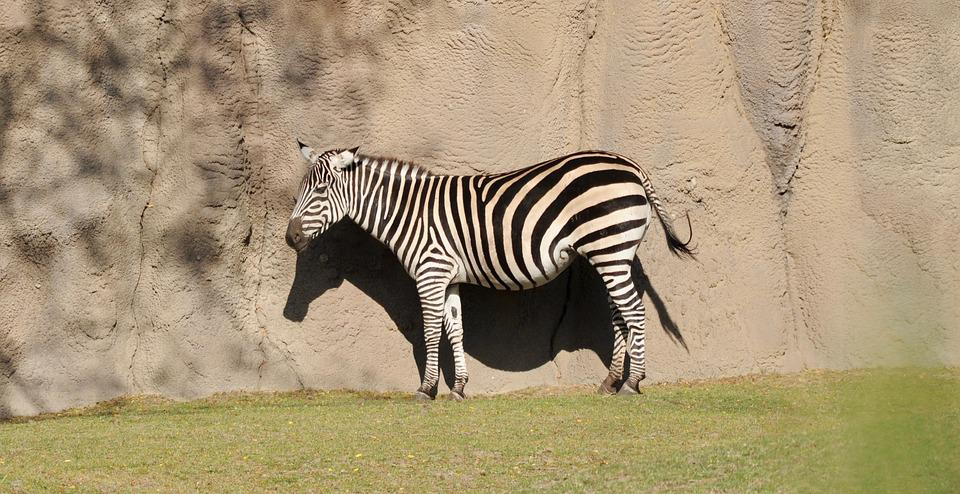 Zebra, Animal World, Nature, Campaign, Animal
